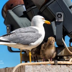 Чайка с птенцом на Римском форуме / Тревел-фотография